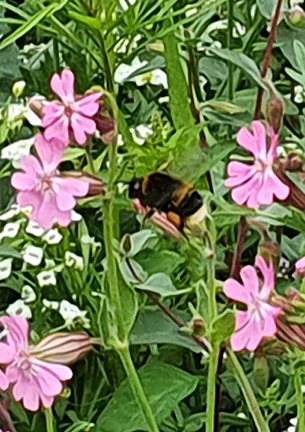 Photo of a bumblebee on wildflowers